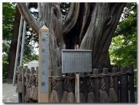柏槇の大樹