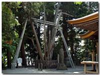 柏槇の大樹-2-