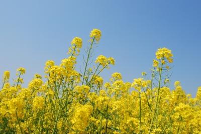 岡山県笠岡市干拓地の菜の花畑