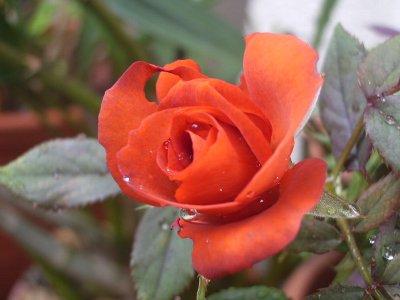 赤いバラ400