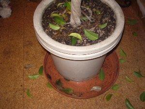 葉が落ちたベンジャミン300