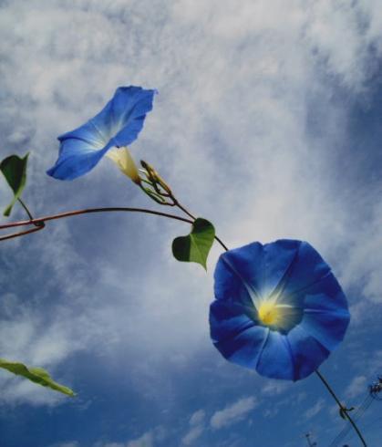 空と青い花