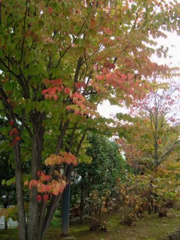 赤くなりつつある木