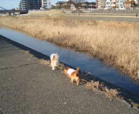 さくらちゃんと散歩