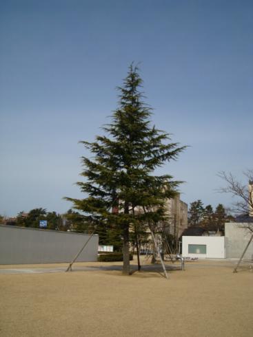 21世紀美術館の木