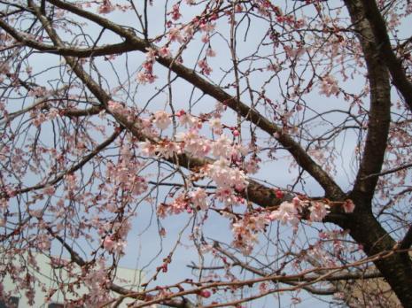 桜もどき?