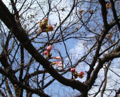 桜・咲きはじめ