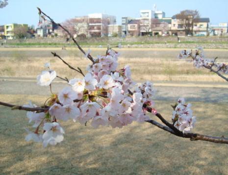 桜越しの犀川