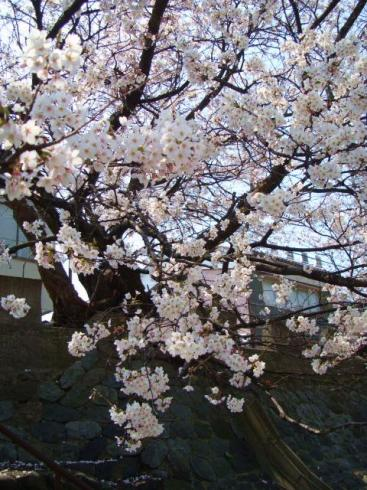 犀川・新橋緑地の桜