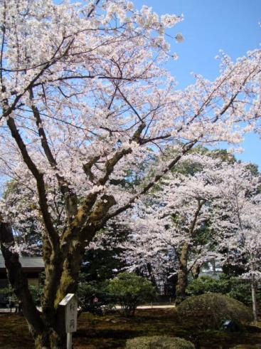 兼六園・桜が岡。