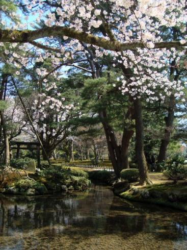 兼六園・桜