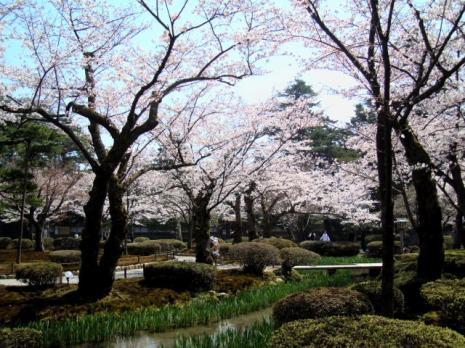 兼六園・曲水と桜