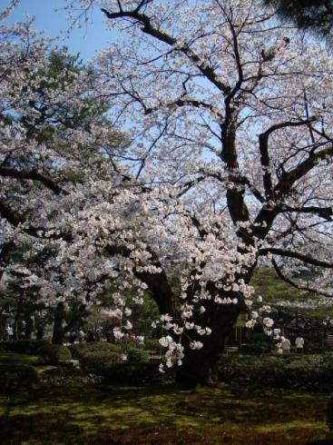 兼六園の桜。