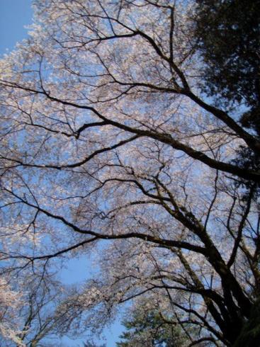 高所に咲く桜