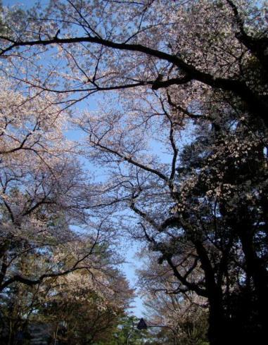 広坂から見あげる桜