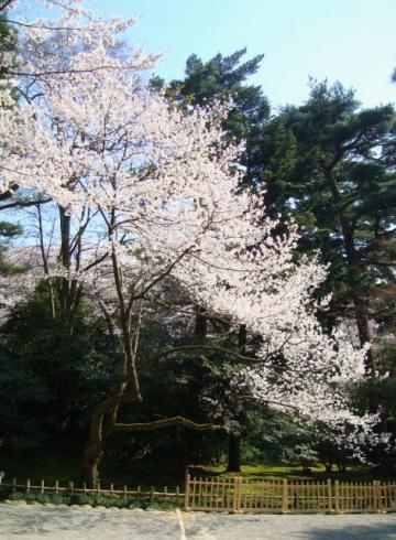 兼六園の桜~
