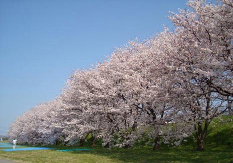 犀川・大豆田緑地の桜並木