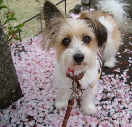 桜の茎をくっつけている犬