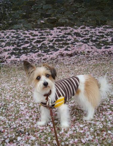 桜の花びらだらけ