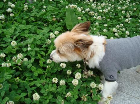 シロツメクサと短髪犬