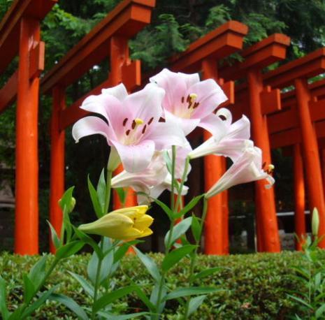 春日神社のユリ