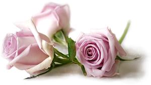 p_rose_p03_300.jpg