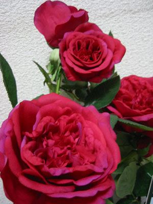 David Austinの薔薇