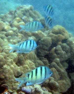 ダイビング 白に黒いスジの魚