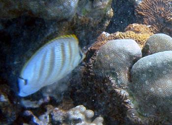 ダイビング 白い魚