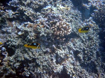 ダイビング ハワイの珊瑚状態