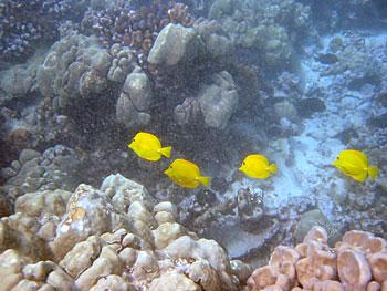 ダイビング 黄色い魚アップ