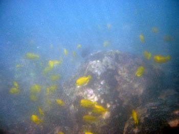 ダイビング 黄色い魚がいっぱい