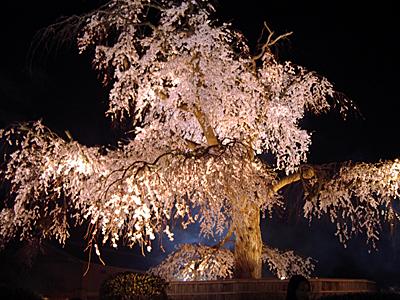 07040501円山公園 桜
