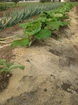 畑のごぼうとねぎ・米ぬか栽培