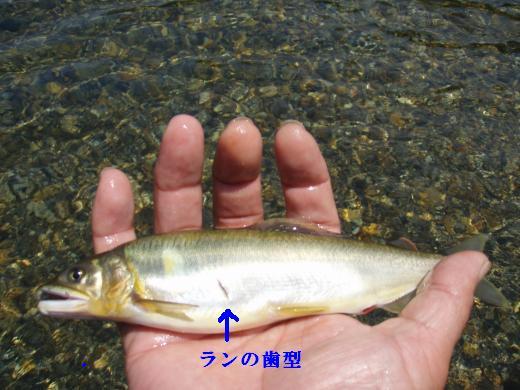 川遊び8 アユ