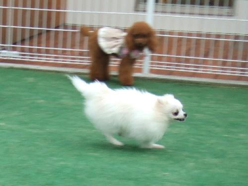 フリルちゃんが走る!