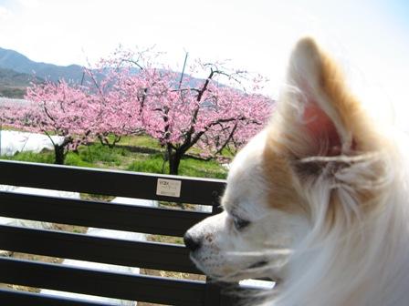 桃の花2.