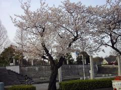 0402sakura4.jpg