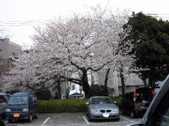 0402sakura5-1.jpg
