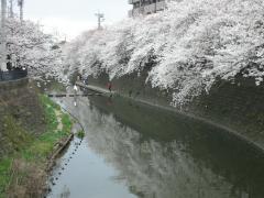 0404sakura1.jpg