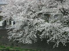 0404sakura2.jpg