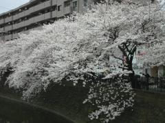 0404sakura3.jpg