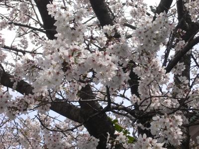 P1020139[春2