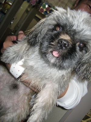 初めての狂犬病予防接種の前にシャンプー