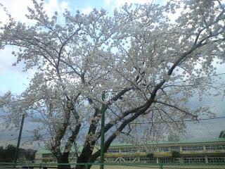 長内小学校わきの桜