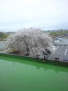 盛岡商工会議所駐車場の桜