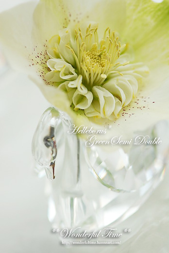Helleborus**Green Semidouble**
