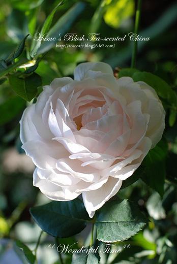 Hume's Blush Tea-scented China**2008_11