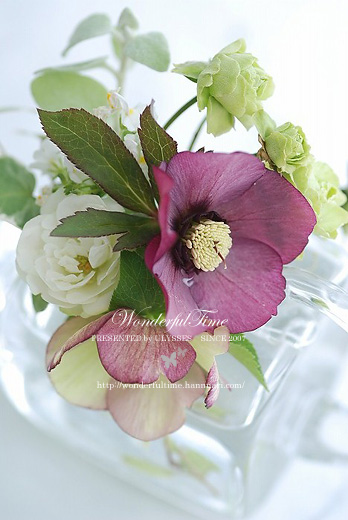Helleborus **Rose Flash**