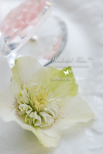 Helleborus(Green_Semi Double)